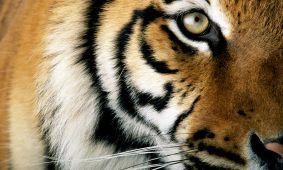 6606_fullimage_kop-tijger